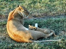 Lion cub in Africa Royalty Free Stock Image