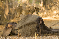 Lion cub on African Elephant calf carcass. Lion cub (Panthera leo) on African Elephant calf carcass Stock Photography