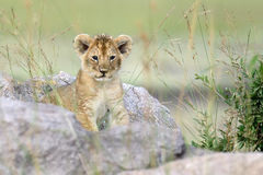Lion cub. African Lion cub in National park of Kenya, Africa Stock Photography