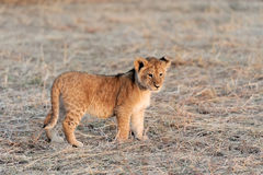 Lion cub. African Lion cub, (Panthera leo), National park of Kenya, Africa Royalty Free Stock Images
