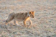 Lion cub. African Lion cub, (Panthera leo), National park of Kenya, Africa Stock Photography