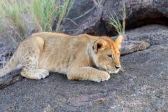 Lion cub. African Lion cub, (Panthera leo), National park of Kenya, Africa Stock Photos