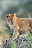 Lion cub. African Lion cub, (Panthera leo), National park of Kenya, Africa Royalty Free Stock Photography