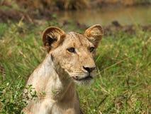 Lion Cub. Alert, up close, watching Stock Photos