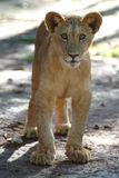 Lion Cub. Animal, A Wildlife Lion Cub royalty free stock images