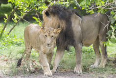 Asiatic Lion and Cub. Cuddling stock photo