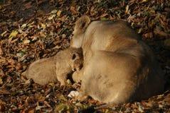 Lion Cub asiatico - persica di Leo della panthera Fotografia Stock