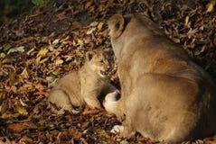 Lion Cub asiatico - persica di Leo della panthera Immagini Stock Libere da Diritti