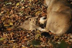 Lion Cub asiatico - persica di Leo della panthera Fotografie Stock Libere da Diritti