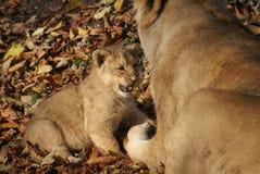 Lion Cub asiatico - persica di Leo della panthera Immagini Stock