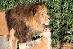 Lion cub asking - Dad do you love me. Lion cub nuzzles the chin of a handsome male lion with a full mane standing in profile against greenery stock image