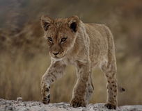 Lion cub with attitude Stock Photography