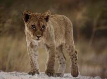 Lion cub with attitude. Walking on a ridge from the background royalty free stock images