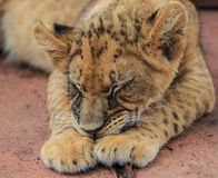 Lion cub. A baby of king of the forest known as lion stock photos