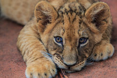 Lion cub. A baby of king of the forest known as lion stock images