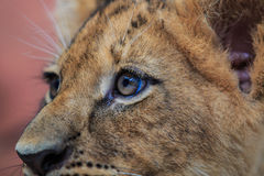Lion cub. A baby of king of the forest known as lion royalty free stock photography