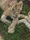 Lion cub. Beautiful lion cub laying on grass Royalty Free Stock Photo