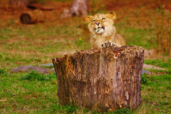 Lion cub behind a stump Royalty Free Stock Images