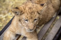 Lion cub on the bench. Little lion cub on the bench stock photos