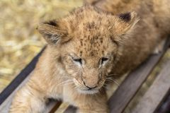Lion cub on the bench. Little lion cub on the bench royalty free stock images