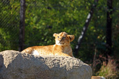 Lion cub on the big stone Royalty Free Stock Image