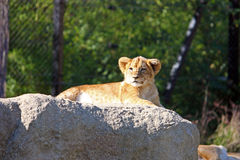 Lion cub on the big stone Royalty Free Stock Photo