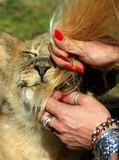 A lion cub bites a tourists hair. A tourist and a lion cub interacting. This was taken at Cheetah rehabilitation centre in South AFrica Stock Photography