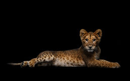 Lion Cub. On a black background Royalty Free Stock Images