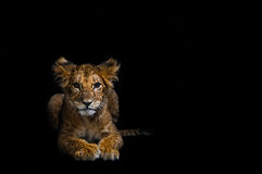 Lion Cub. On a black background Royalty Free Stock Photo
