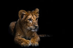 Lion Cub. On a black background stock photo