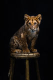 Lion Cub. On a black background Stock Photography