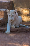 Lion Cub blanc Photo libre de droits