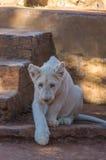 Lion Cub blanc Image libre de droits