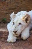 Lion Cub blanc Photographie stock libre de droits