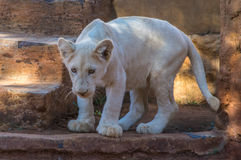 Lion Cub blanc Photos stock
