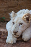 Lion Cub blanc Photographie stock