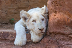 Lion Cub blanc Images stock