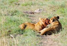 Lion Cub with blood soaked mouth with mother Royalty Free Stock Images