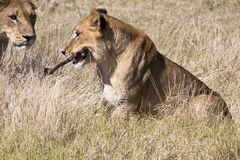 Lion Cub with Bone and Onlooker Stock Photos