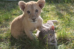 Lion cub with cat. Playing in the grass and on carefully royalty free stock image