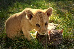 Lion cub with cat. Sweet and beautiful lion cub with cat stock image