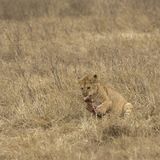Lion cub chewing bone surrounded by dried grass stock images