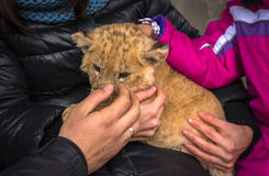 Lion cub, children  stroked. Royalty Free Stock Image