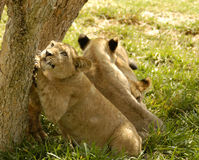Lion Cub Claws Stock Photography