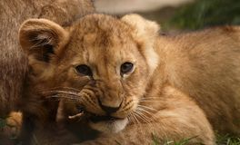 Lion Cub Close Up Immagine Stock