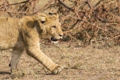 Lion Cub Close Up Lizenzfreies Stockbild