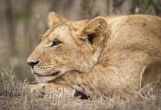 Lion Cub. Close-up of a lion cub, Masai Mara National Reserver, Kenya, East Africa Stock Photos