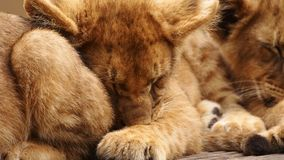 Lion cub close up. Three months old lion cub sleeping amongst siblings Royalty Free Stock Images