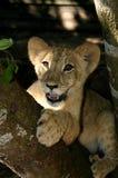 Lion Cub Closeup Fotografía de archivo
