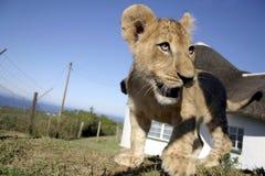 Lion Cub Closeup Imagen de archivo libre de regalías